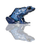 Blue Poison Dart frog against white background. Side view of Blue Poison Dart frog, Dendrobates azureus, against white background, studio shot royalty free stock images