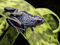 Blue poison dart frog Amazon rain forest Royalty Free Stock Photography