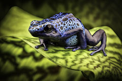 Blue poison dart frog amazon rain forest Stock Photos
