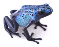 Blue poison dart frog Amazon rain forest Royalty Free Stock Images