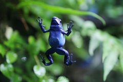 Blue poison dart frog climbing up a tree Royalty Free Stock Images
