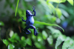 The blue poison dart frog. Blue poison dart frog climbing up a tree Stock Images