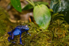 Blue Poison Dart Frog Stock Photos