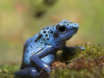 Blue Poison Dart Frog, Closeup View. Blue Poison Dart Frog,Closeup View, Green Background Stock Photos
