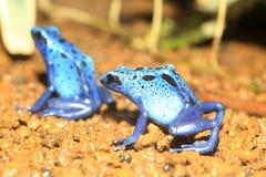 Blue Poison Dart Frog Stock Images
