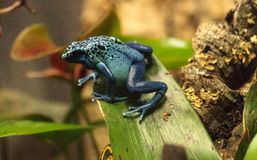 Blue poison dart frog Dendrobates tinctorius azureus. Is known by its native name okopipi and is found in Suriname and Brazil Royalty Free Stock Photography