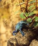 Blue poison dart frog Dendrobates tinctorius azureus Royalty Free Stock Images
