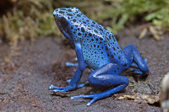 Blue Poison-dart Frog. (Dendrobates tinctorius azureus), native to Suriname stock image