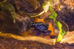 Blue poison-dart frog - Dendrobates tinctorius azureus in terrarium stock images