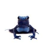 Blue Poison dart frog, Dendrobates tinctorius Azureus, on white Royalty Free Stock Photos