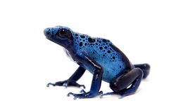 Blue Poison dart frog, Dendrobates tinctorius Azureus, on white Stock Image