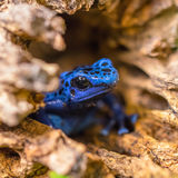 Blue Poison Dart Frog Emerging From a Log Stock Photos