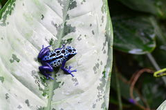 A blue Poison dart frog on a leaf. stock photography