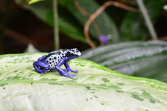 A blue Poison dart frog on a leaf. royalty free stock images