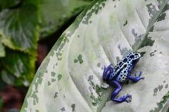 A blue Poison dart frog on a leaf. stock image