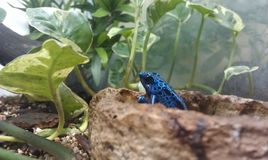 Blue poison dart frog. In leaves Royalty Free Stock Images