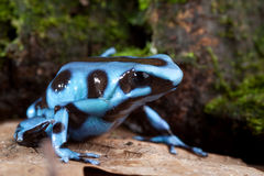 Blue poison dart frog poisonous animal Royalty Free Stock Image