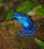 Blue poison dart frog. Resting Royalty Free Stock Photos