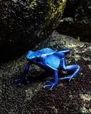 Poison Dart Frog royalty free stock photos