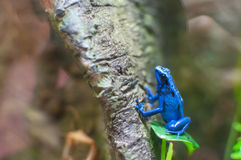 Blue poison dart frog on a tree Royalty Free Stock Photography