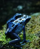 Blue Poison Dart Frogs. Two blue poison dart frogs sitting on grass near water Stock Image