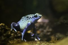 Blue Poison Dart Frog. S release toxins that make them undesirable for predators to attack Royalty Free Stock Photography