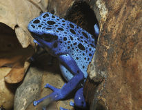 Blue Poison Frog Royalty Free Stock Images