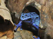 Blue Poison Frog Royalty Free Stock Photography