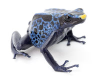 Blue poison frog on white Stock Photos
