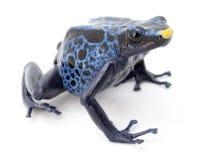 Blue poison frog on white Stock Photos