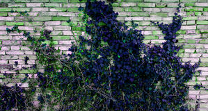 Blue Poison Ivy. The poison ivy on the wall Royalty Free Stock Photography