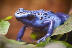 Blue poisonous frog Royalty Free Stock Photos