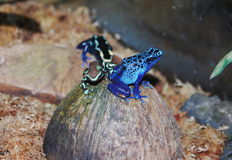 Blue poisonous frog Stock Image