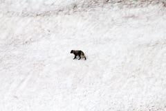 Polar  fox Royalty Free Stock Image