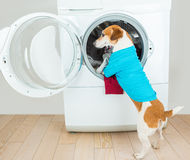 Blue polo t-shirt dog putting clothes to washing machine. Helping with housework. Best Laundry and dry cleaning pet service.  Funny ad for your business Stock Image