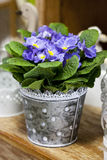 Blue polyanthus. In vintage dotted pot. vintage decoration Royalty Free Stock Images