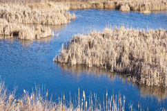 Blue Pond Surrounded by Dry Reeds in Winter Stock Image