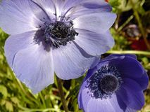Blue Poppies. In the sun Royalty Free Stock Photos