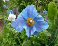 Blue Poppy Stock Photos