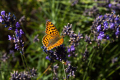 On the blue. Portrait of silver-washed fritillary butterfly on the flower Royalty Free Stock Image