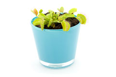 Blue pot with Dionaea. Flytrap, isolated on white background stock images
