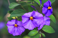Blue potato bus, Solanum rantonnetii Royalty Free Stock Images