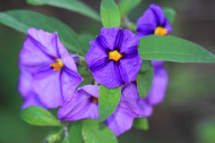 Blue potato bus, Solanum rantonnetii Stock Photos
