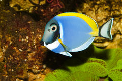 Blue Powder Tang in Aquarium Stock Images