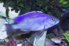 Blue predator fish. Bright blue predator fish in the aquatium Royalty Free Stock Image