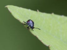 Blue the predatory bug (Zicrona caerulea). The size of 3-5 mm Preys on other small insects, including the Colorado potato beetle Royalty Free Stock Photography