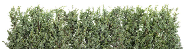 Free Blue Prickly Juniper Line Stock Images - 42970404