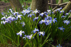 Blue primroses Chionodoxa. Luciliae in the spring garden Royalty Free Stock Photos
