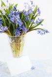 Blue primroses, scilla Royalty Free Stock Image