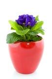 Blue Primula Stock Images